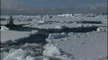 Antarctica Ice And Orcas, Swim And Spy Hop
