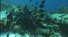 Scenic Coral Reef, School Of Blue Tangs