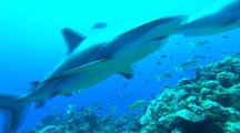 Reef Sharks, Other Fish Gather Near Bait On Reef, Close Passes