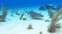 Tiger Shark Lies And Swims On Bottom, Filmed By Diver