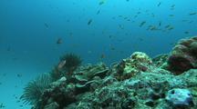 Anthias And Crinoids Around Coral Head, Anthias Display And Mate
