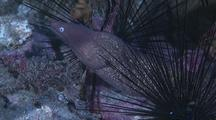 White Eyed Moray Eel Among Sea Urchins, Swims Around Coral Rubble