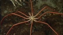 Antarctic Sea Spider Crawls On Bottom