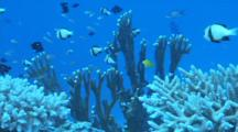 Damselfish Swimming Over Coral, Zoom Out