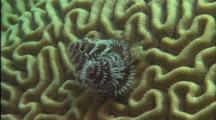 Christmas Tree Worm Opens And Closes