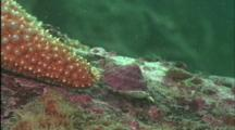Close Up Of Sea Star Encountering A Snail