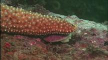 Close Up Of Sea Star Catching A Snail