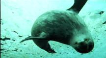Weddell Seal Swims To Camera And Plays