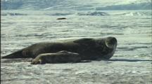Mother And Baby Seal Sleep On Ice