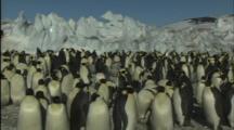 Large Group Of Emperor Penguins
