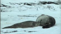 Juvenile Weddell Seal Suckles On Mother