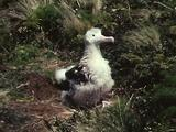 Wildlife Rangers Release Indignant, Ruffled, Wandering Albatross Chick After Attaching Id Band