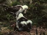 Mws Wandering Albatross Chick Begs From Adult Returning To Nest