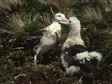 Mws Wandering Albatross Parent Feeds Chick From Gullet
