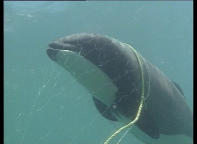 Drowned Hector's Dolphin In Fishing Net