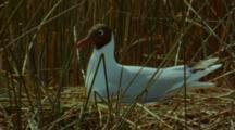 Brown-Hooded Gull Settling Down On Nest