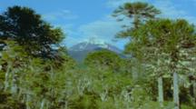 Monkey Puzzle Trees And Snow Capped Mountain
