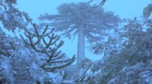 Monkey Puzzle Trees In Snow, Frozen Landscape,