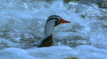 Torrent Duck And Ducklings Swimming In Fast-Flowing River