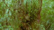Southern Beech Tree Trunk With Epiphytes Growing
