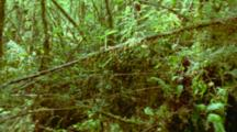 Thick Rainforest Undergrowth With Mosses And Epiphytes Covering Everything