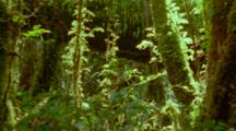 Sunlight Piercing Canopy And Lighting The Ferns And Epiphytes On Tree Trunks