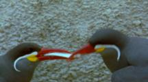 Inca Tern Courting Behaviour, Male Offering Fish