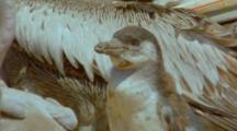 Peruvian Pelican Feeding Chicks, Humboldt Penguin Chick Pops Up