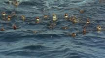 Humboldt Penguins Rafting On Ocean Surface