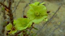 Yellow Atacama Desert Flowers