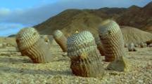 Barrel Cactus Flowering In Sandy Desert