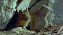 Degu Emerges From Hole In The Rocks, Sniffing And Looking Around