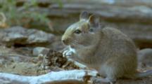 Degu Forages Among Sparse Vegetation, Sniffing And Nibbling At Things