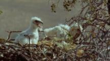 Black-Chested Buzzard Eagle Chicks In Nest, Strong Chick Pecking
