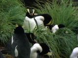 Erect Crested Penguins Amongst Grass