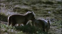 Arctic Fox Cubs, Summer Coat Markings