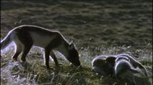 Arctic Fox Cubs With Mother, Summer Coat Markings