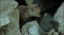 Red Fox Cubs At Den Entrance Amongst Large Boulders