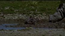 Infant Indian Rhino At Mud Wallow Adult Keeping Watchful Eye; Ad Joins In Wallow