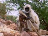 Hanuman Langur Scratches Tail Vigorously, New Born Plays With It