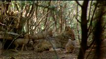 Golden Jackal Female Resting On Forepaws, 3 Or 4 Cubs Clambering Over Her, Scrubby Bush