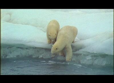 Polar Bear Mother And Cub Walk Along Edge Of Ice Floe Enter Water To Swim