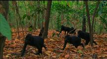 Crested Black Macaque Troop Move Through Forest
