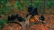 Crested Black Macaque Troop Sitting On Log, Grooming Eachother, Tilt Up To Forest Canopy