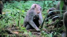 Mother And Baby Moor Macaque Huddling, Mother Pats Head Of Onlooking Adolescent Monkey