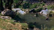 Rhesus Macaques Play In River, One Takes Flying Leap From Rock Into Water