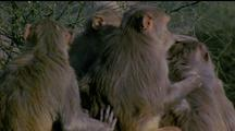 Four Rhesus Macaques Grooming Eachother And Squabbling