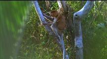 Proboscis Monkey Climbs Tree