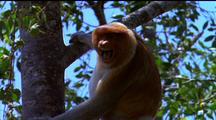 Mws Proboscis Monkey Hanging Onto Tree, Calling Out