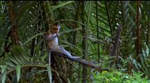 Proboscis Monkey Reclining On Branch Amidst Palm Trees